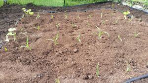 Corn field with squash